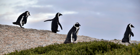 jackass: African penguins. African penguin (spheniscus demersus), also known as the jackass penguin and black-footed penguin is a species of penguin Boulders colony in Cape Town,South Africa