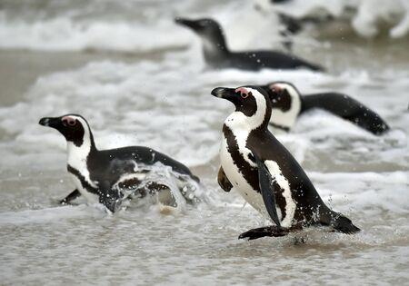 penguin colony: African penguins. African penguin (spheniscus demersus), also known as the jackass penguin and black-footed penguin is a species of penguin Boulders colony in Cape Town,South Africa