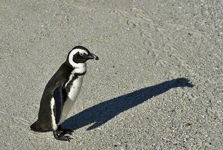 penguin colony: African penguin and shadow. African penguin spheniscus demersus, also known as the jackass penguin and black-footed penguin is a species of penguin Boulders colony in Cape Town, South Africa Stock Photo