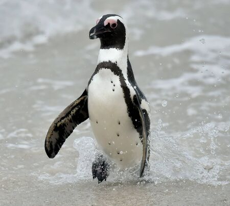 jackass: African penguins. African penguin spheniscus demersus, also known as the jackass penguin and black-footed penguin is a species of penguin Boulders colony in Cape Town, South Africa