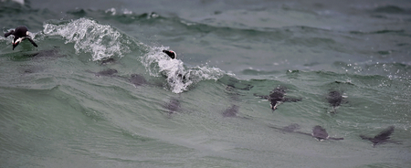 jackass: African penguins swimming in ocean.  The African penguin (Spheniscus demersus), also known as the jackass penguin and black-footed penguin is a species of penguin, confined to southern African waters.