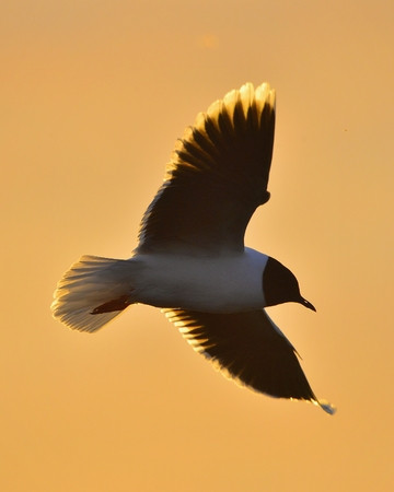 ridibundus: Black-headed Gull Larus ridibundus flying on sunset natural background