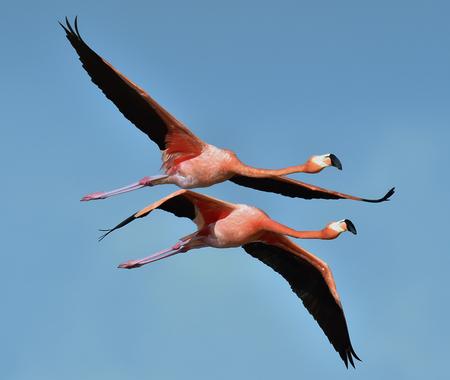 phoenicopterus: Flying Caribbean flamingos (Phoenicopterus ruber) . natural background