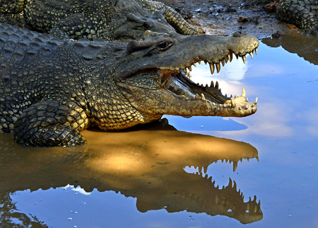 crocodylus: Group of Cuban Crocodiles (crocodylus rhombifer). Image taken in a natural park in the island of Cuba
