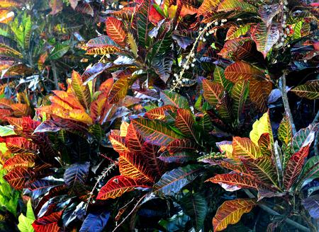 variegated: Codiaeum variegatum Variegated Croton