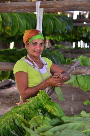 cuban culture: VINALES, CUBA - FEBRUARY 17: The woman touching tobacco leaves for production of the Cuban cigars