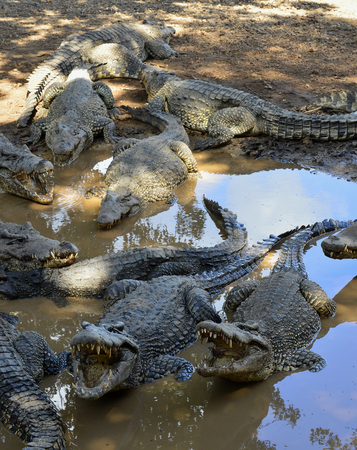 cruel zoo: Group of Cuban Crocodiles (crocodylus rhombifer). Image taken in a natural park in the island of Cuba