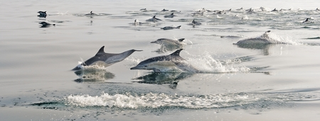 warm water fish: Group of dolphins, swimming in the atlantic ocean. The jumping dolphins comes up from water. The Long-beaked common dolphin scientific name: Delphinus capensis.