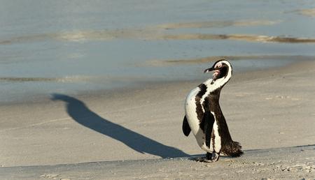 spheniscus demersus: African penguin (spheniscus demersus) at the Beach. South Africa Stock Photo