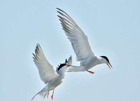 to flit: The Tern flies holding a beak a tail of other Tern. Closeup Portrait of Common Terns (Sterna hirundo). Adult common terns in flight on the blue sky background