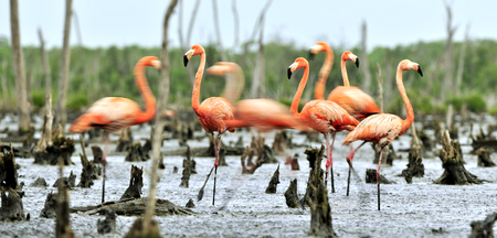 maximo: Colony of  American flamingo or Caribbean flamingos (Phoenicopterus ruber ruber).  The largest colony of the Caribbean flamingo.Rio Maximo, Camaguey, Cuba.