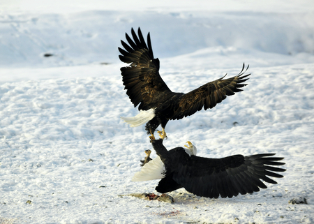 haliaeetus leucocephalus: Eagles fight . Two Bald Eagles (Haliaeetus leucocephalus washingtoniensis ) fighting for fish