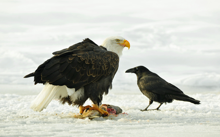 haliaeetus leucocephalus: The Bald eagle ( Haliaeetus leucocephalus ) sits on snow and eats a salmon fish. Winter in Alaska. USA