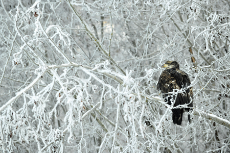 haliaeetus leucocephalus: Portrait of Bald Eagle sitting on a snow branch. Bald Eagle. Haliaeetus leucocephalus washingtoniensis. Alaska in winter