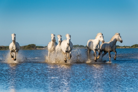 promptly: Herd of White Camargue Horses fast running through water in sunset light. Parc Regional de Camargue - Provence, France