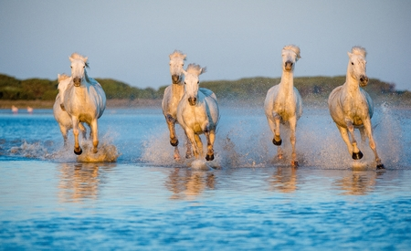 camargue: Herd of White Camargue Horses galloping through water in sunset light. Parc Regional de Camargue - Provence, France Stock Photo