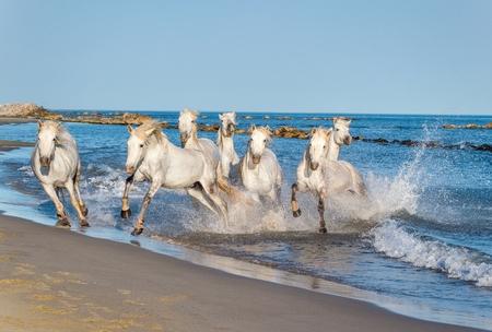 caballo: Manada de blancos de Camargue Caballos galopando a través del agua a la luz del atardecer. Parque Regional de Camargue - Provence, Francia