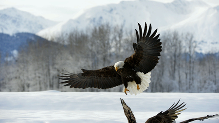 landed: Bald Eagle  ( Haliaeetus leucocephalus )  landed on snow. Alaska Usa in winter Stock Photo