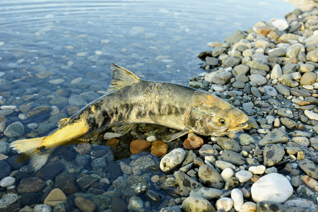 egg laying: The The chum salmon (Oncorhynchus keta)  the comer spawns dies in the river