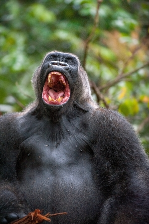 lowland: Silverback - adult male of a gorilla. Western Lowland Gorilla. A gorilla appears to be laughing, mouth open, yawning.