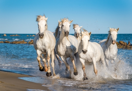 white water: Herd of White Camargue Horses fast running through water in sunset light. Parc Regional de Camargue - Provence, France