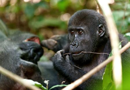 gorila: Gorila en el Congo, Gorilla gorilla gorilla en la selva del Congo. Retrato de un gorila de tierras bajas occidentales (Gorilla gorilla gorilla) de cerca a una corta distancia. �frica. Congo. Ruido visible a resoluci�n completa. Foto de archivo