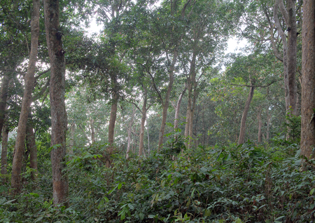 rain forest background: Natural Jungle background. Tropical rain forest in the morning mist.  Congo. Africa
