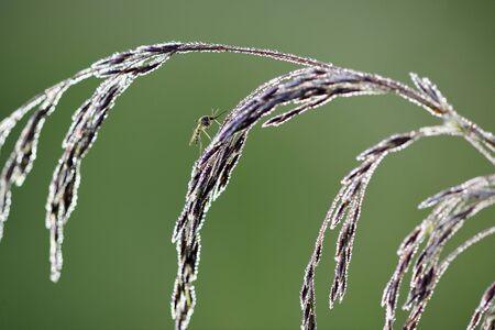 arthropoda: Mosquito Culex pipiens female rest on grass flower