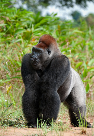 western lowland gorilla: Gorilla at a short distance, but something has distracted her attention also she attentively looks upwards. Portrait of a western lowland gorilla (Gorilla gorilla gorilla) close up at a short distance. Congo. Africa