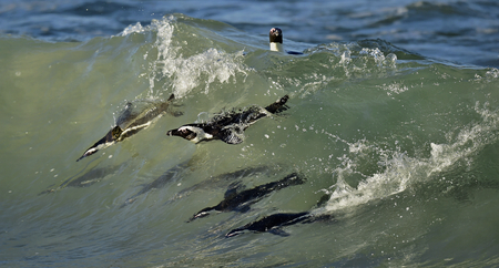 confined: Swimming penguins. The African penguin (Spheniscus demersus), also known as the jackass penguin and black-footed penguin is a species of penguin, confined to southern African waters.
