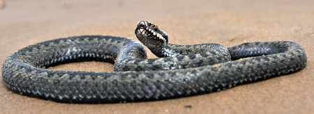 widespread: . The common European adder or common European viper, is a venomous viper species that is extremely widespread.