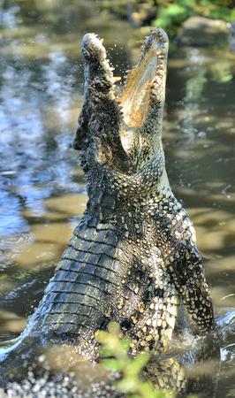 crocodylus: Attack crocodile. Cuban Crocodile (crocodylus rhombifer). The Cuban crocodile jumps out of the water. Cuba.