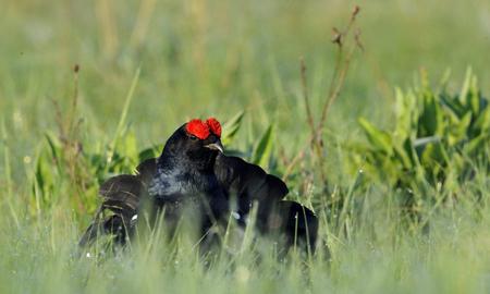 grouse: Birkhuhn, black grouse [Tetrao tetrix], blackgame [Lyrurus tetrix). Portrait of a lekking black grouse (Tetrao tetrix) Sunrise . Early morning. Forest.