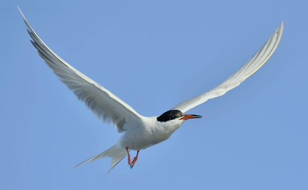 pilot wings: Adult  common tern (Sterna hirundo) in flight on the blue sky background Stock Photo