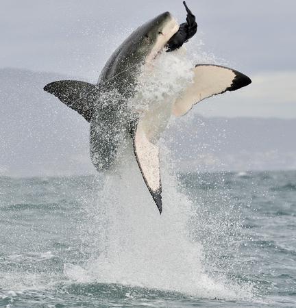 atrapar: Gran tiburón blanco (Carcharodon carcharias) violar en un ataque. La caza de un gran tiburón blanco (Carcharodon carcharias). Sudáfrica Foto de archivo