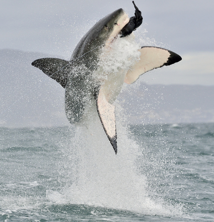 great: Great White Shark (Carcharodon carcharias) breaching in an attack. Hunting of a Great White Shark (Carcharodon carcharias). South Africa