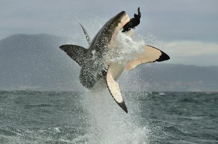 Grande squalo bianco (Carcharodon carcharias) violare in un attacco. Caccia di un grande squalo bianco (Carcharodon carcharias). Sud Africa
