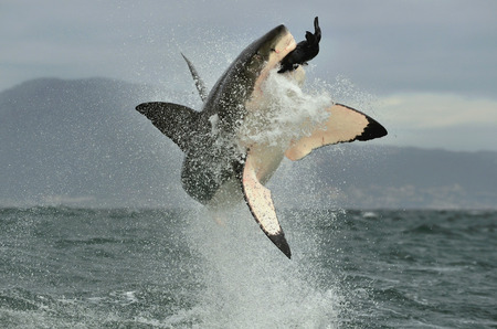 white fur: Great White Shark (Carcharodon carcharias) breaching in an attack. Hunting of a Great White Shark (Carcharodon carcharias). South Africa