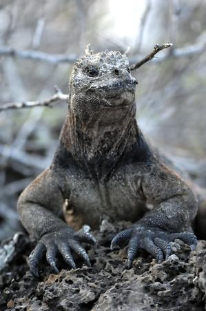 marine: The marine iguana on the black stiffened lava. The male of marine iguana Amblyrhynchus cristatus is an iguana found only on the Galapagos Islands