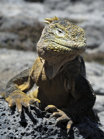lagartija: Galapagos Land Iguana Conolophus subcristatus, South Plaza Island, Galapagos