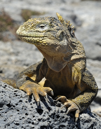 galapagos: Galapagos Land Iguana Conolophus subcristatus, South Plaza Island, Galapagos