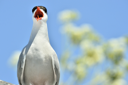 seabird: Close up Yelling The Common Tern (Sterna hirundo) on natural blue sky background. The Common Tern (Sterna hirundo) is a seabird of the tern family Sternidae.