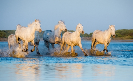 camargue: White Camargue Horses running on the blue water in sunset light. Parc Regional de Camargue - Provence, France