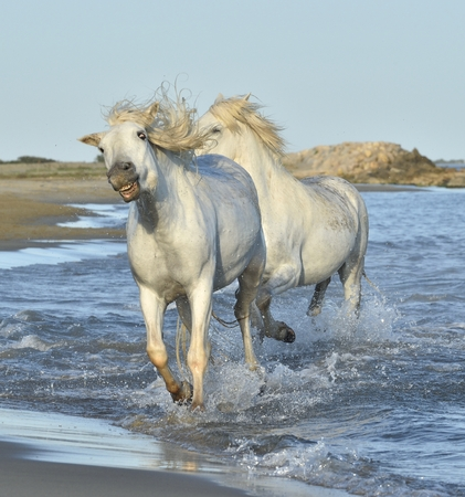 water waves: White Camargue Horses running on the blue water in sunset light. Parc Regional de Camargue - Provence, France