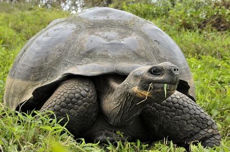 TORTOISE: A giant Galapagos turtle (Chelonoidis elephantopus), Galapagos islands, Ecuador, South America. The Galapagos tortoise or Galapagos giant tortoise (Chelonoidis nigra).