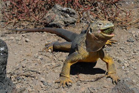 lagartija: comida agudo. La iguana de tierra de comer tuna cactus.The Gal�pagos iguana terrestre (Conolophus subcristatus) es una iguana que s�lo se encuentra en las Islas Gal�pagos