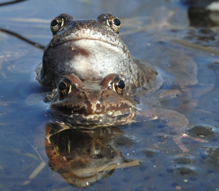 rana: The common frog (Rana temporaria) mating, also known as the European common frog