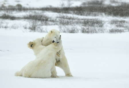 tundra: Fighting Polar bears (Ursus maritimus ) on the snow. Arctic tundra. Stock Photo