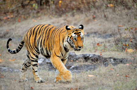 An Indian tiger in the wild. Royal Bengal tiger ( Panthera tigris ) in national park of India