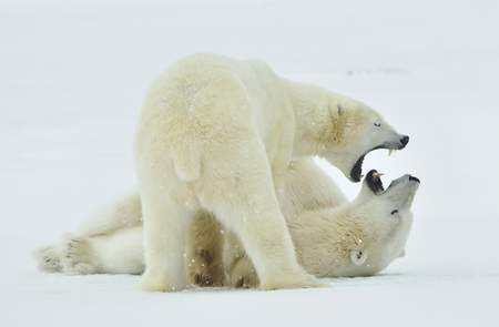 mediate: Fighting Polar bears (Ursus maritimus ) on the snow. Arctic tundra. Stock Photo